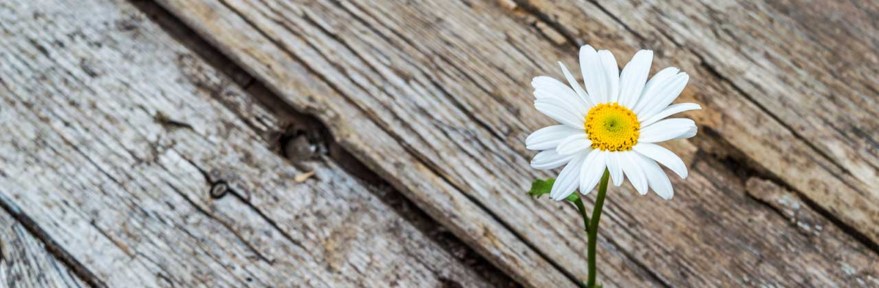 white daisy growing through wood crack